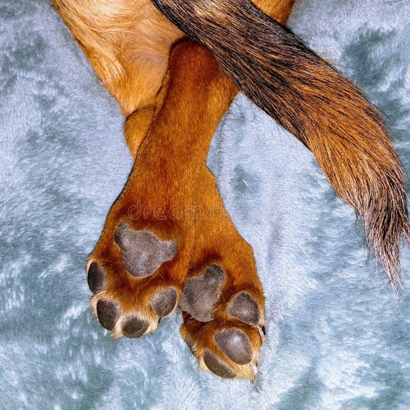 Pés cruzados do cão com patas e cauda fotos de stock royalty free