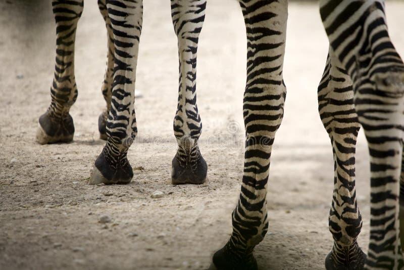 Pés da zebra imagem de stock royalty free