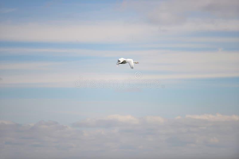 Pés de um bebê recém-nascido em um fundo cor-de-rosa Uma cisne branca, voando no céu azul, Copenhaga Dinamarca foto de stock royalty free
