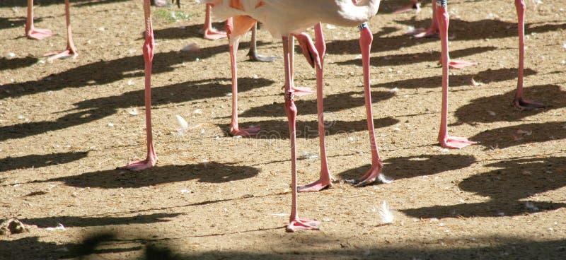 Pés de um flamingo fotos de stock