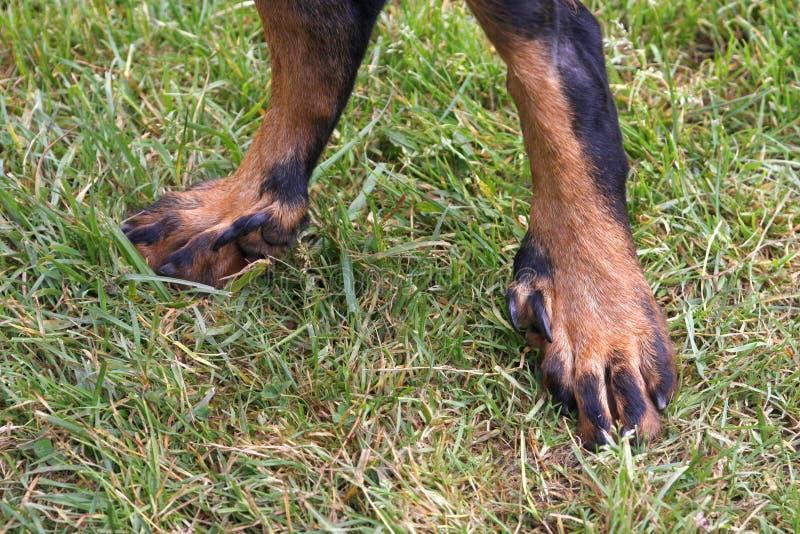 pés do cão fotos de stock royalty free