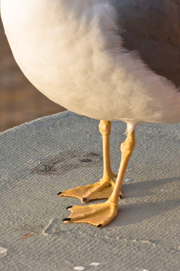 Pés palmados da gaivota fotografia de stock royalty free