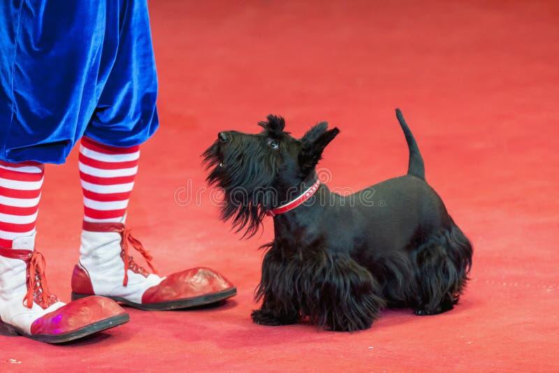 Pés pretos do terrier e do palhaço na arena vermelha do circo foto de stock