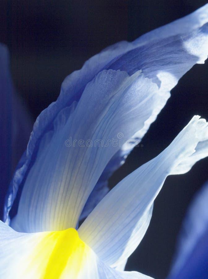 Pétala azul da íris do detalhe fotos de stock royalty free