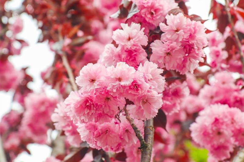 A pétala cor-de-rosa da murta de crepe ou o Lagerstromia baga indica ou de China ou lilás do close up sul imagem de stock