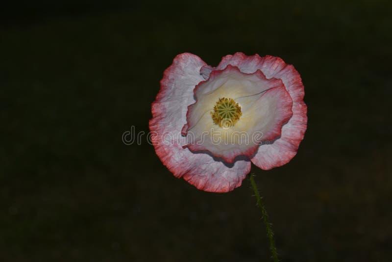 Pétala cor-de-rosa Poppy Mandala In Spotlight foto de stock