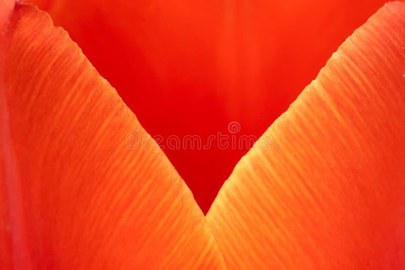Pétala da tulipa imagens de stock
