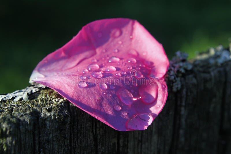 Pétala de Rosa após a chuva imagem de stock