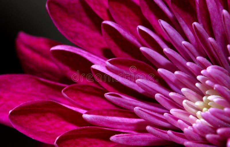 Pétala roxa da flor foto de stock royalty free