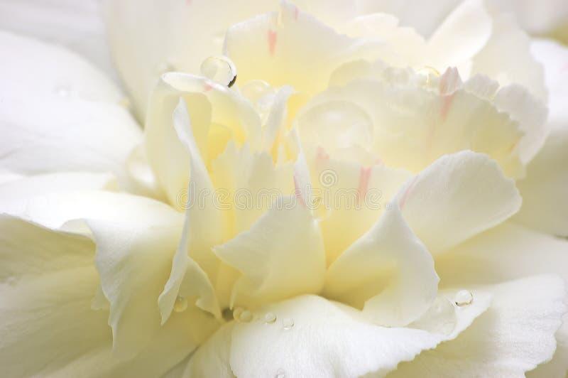 Pétalas abstratas da flor branca macro imagens de stock