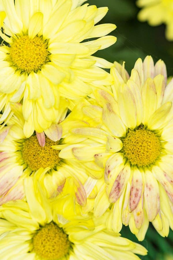 Pétalas amarelas e cor-de-rosa e centros amarelos dos crisântemos imagens de stock royalty free