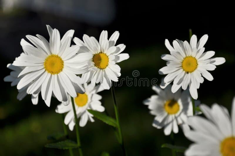 Pétalas brancas de flores da margarida no fundo escuro fotos de stock