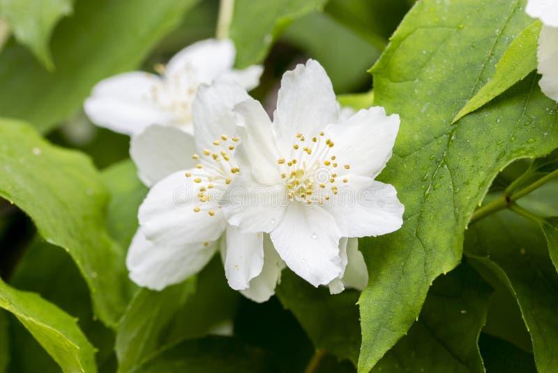 Pétalas brancas de florescência do arbusto do coronarius de Philadelphus, pistilo amarelo e estames Corniso inglês de florescênci imagem de stock royalty free
