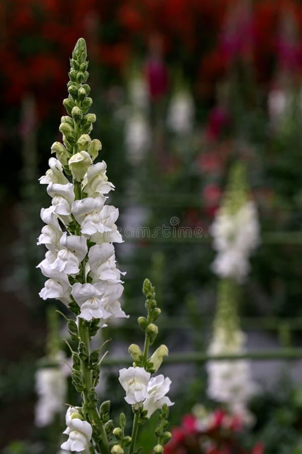 Pétalas brancas do tremoceiro do detalhe bonito com fundo de Bokeh e luz natural fotografia de stock royalty free