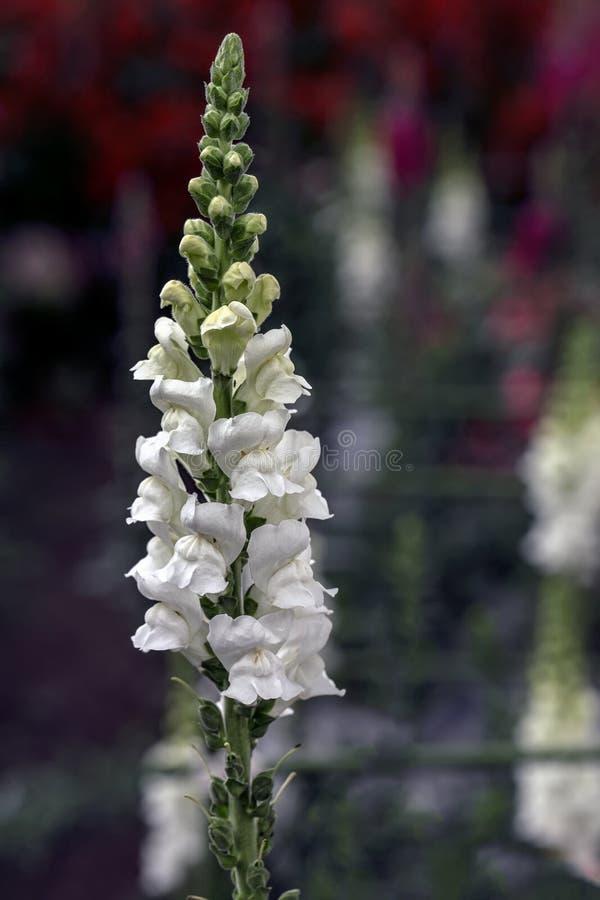 Pétalas brancas do tremoceiro do detalhe bonito com fundo de Bokeh e luz natural imagem de stock royalty free