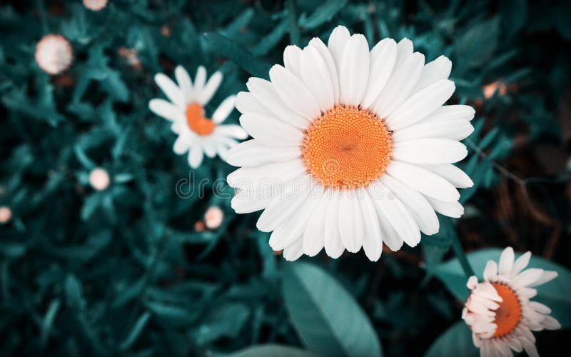 Pétalas brancas, flor alaranjada, fundo escuro do tom foto de stock