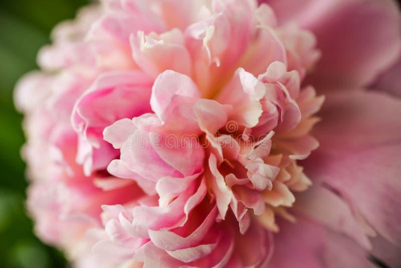 Pétalas cor-de-rosa borradas da peônia proximamente na luz suave Macro de florescência da peônia para cópias, cartazes, projeto,  imagens de stock royalty free
