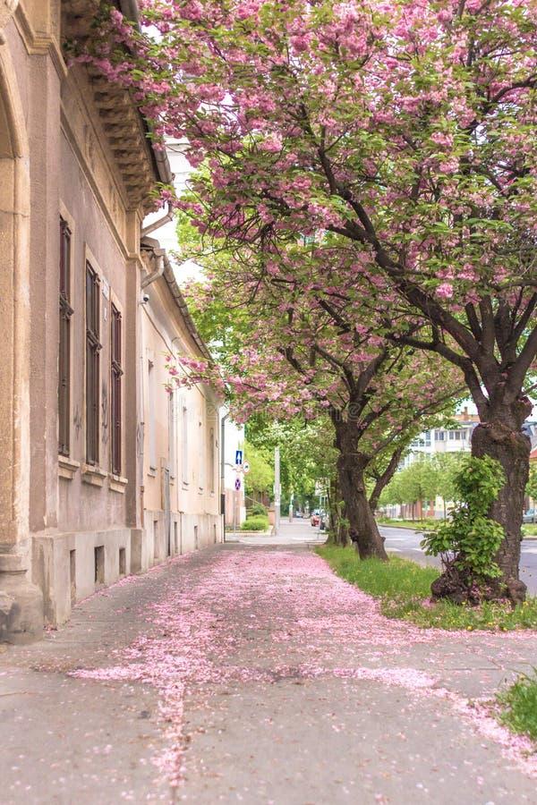 Pétalas cor-de-rosa da cereja e do abricó no pavimento perto da casa imagem de stock