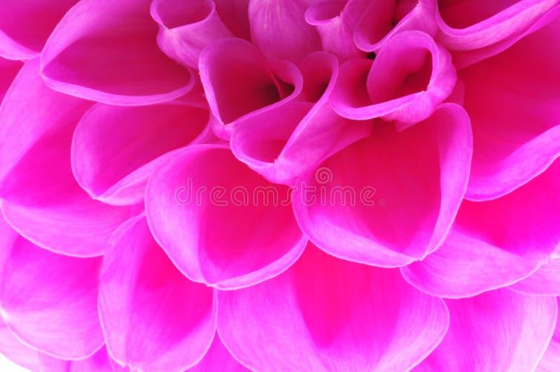 Pétalas cor-de-rosa da flor fotos de stock