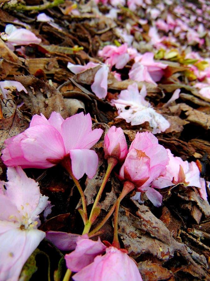 Pétalas cor-de-rosa da flor de cerejeira que colocam em uma terra da casca imagem de stock