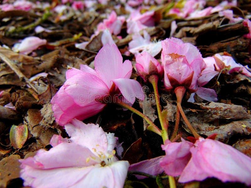 Pétalas cor-de-rosa da flor de cerejeira que colocam em uma terra da casca imagens de stock royalty free