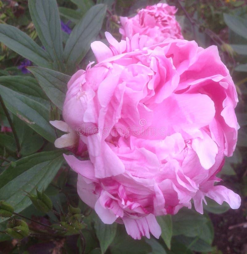 Pétalas cor-de-rosa da flor do peony imagens de stock