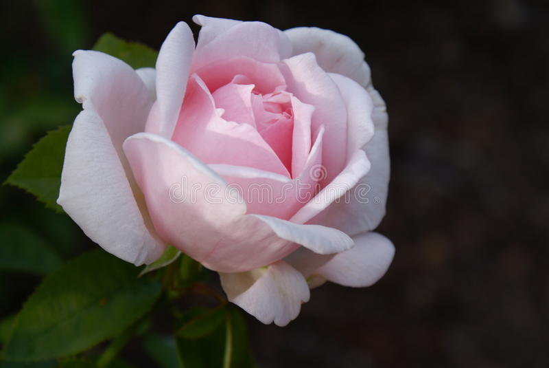 Pétalas cor-de-rosa delicadas fotografia de stock