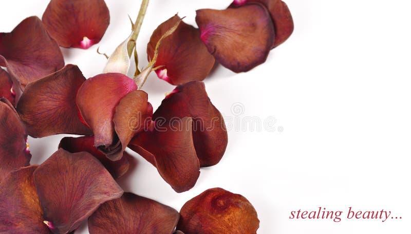 Pétalas cor-de-rosa desvanecidas com um fundo branco fotos de stock