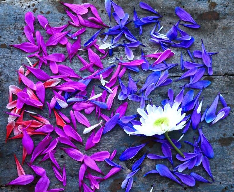 Pétalas cor-de-rosa e lilás dos crisântemos em um fundo de madeira Vista de acima imagens de stock royalty free