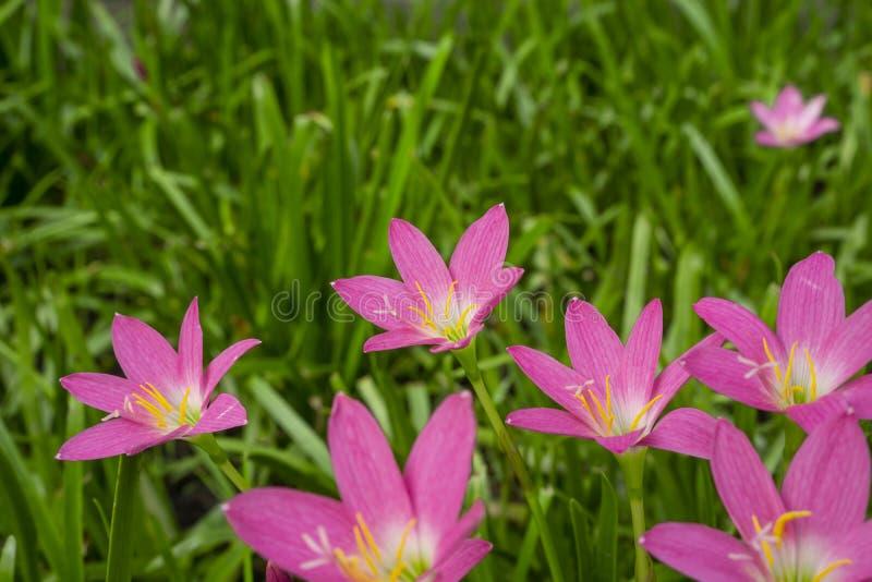 Pétalas cor-de-rosa pequenas bonitas do lírio da chuva na folha linear verde fresca, corola vívida consideravelmente minúscula qu fotografia de stock