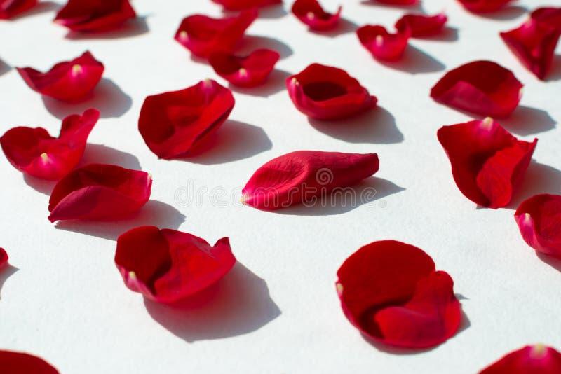 Pétalas cor-de-rosa vermelhas em um fundo branco fotografia de stock royalty free