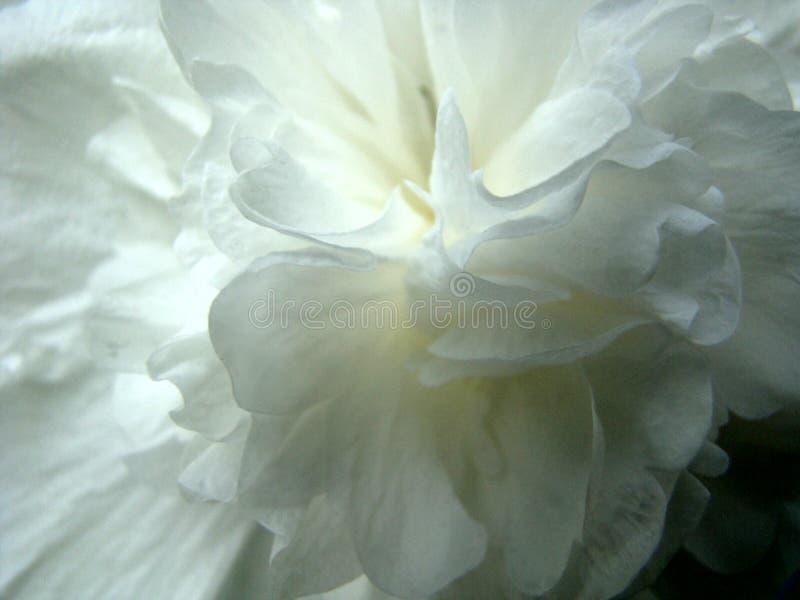 Pétalas da flor branca imagem de stock