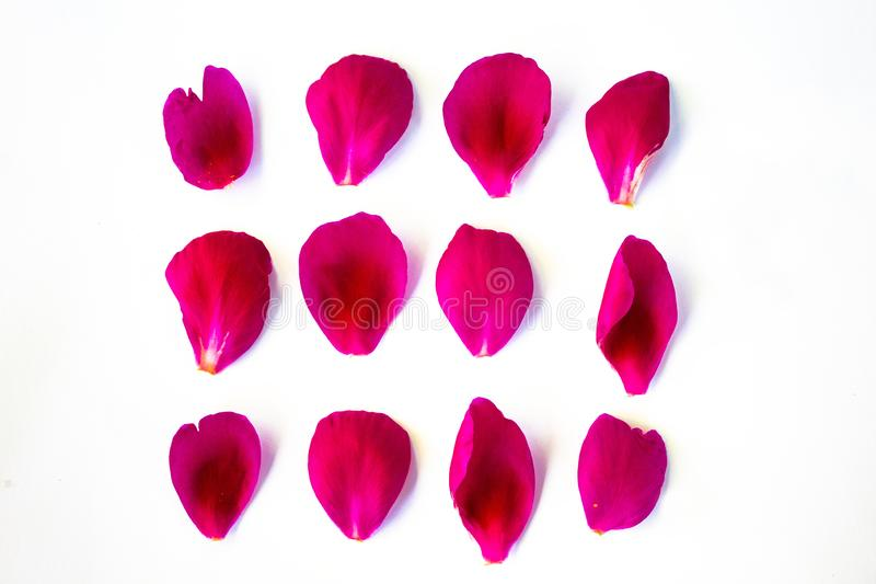 Pétalas da peônia cor-de-rosa, de vários formas e tamanhos Em um fundo branco foto de stock