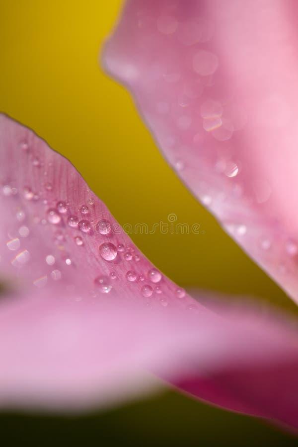Pétalas da tulipa fotografia de stock royalty free