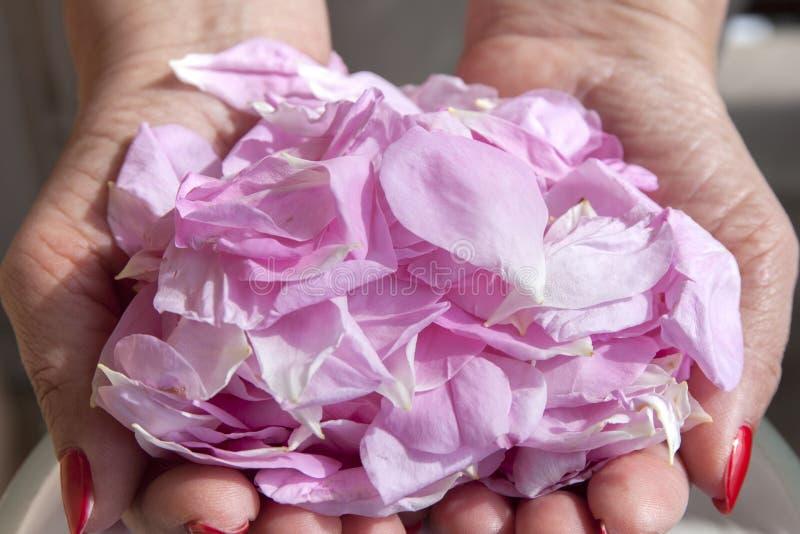Pétalas das rosas nas mãos fotografia de stock royalty free