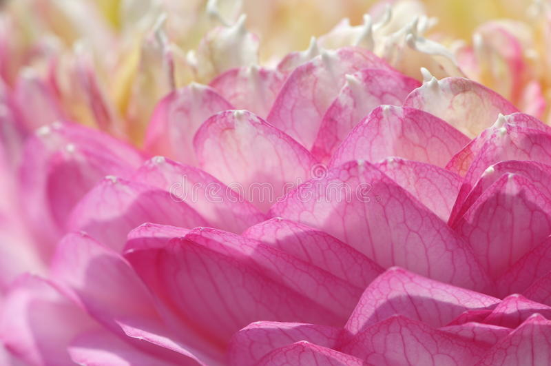 Pétalas de Lotus imagem de stock