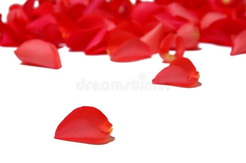 Pétalas de Rosa fotografia de stock
