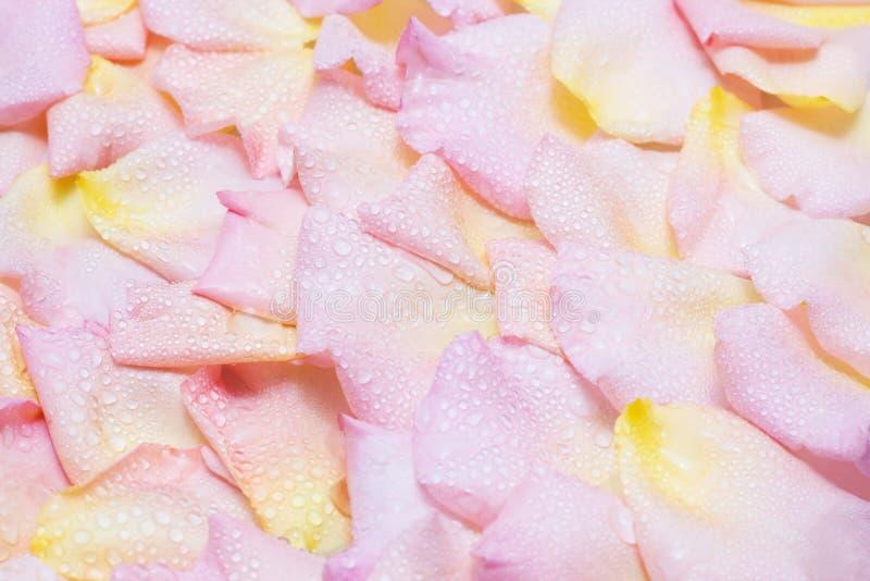 Pétalas de Rosa com gotas da água fotografia de stock
