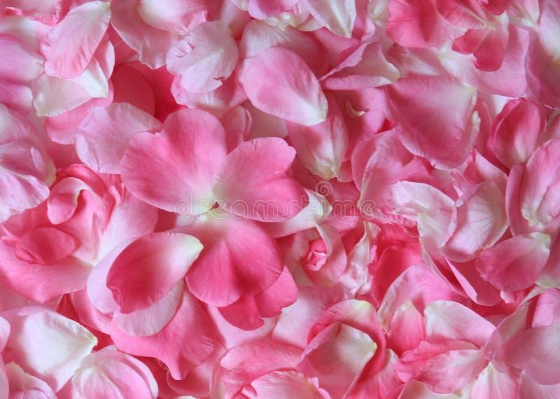 Pétalas de Rosa cor-de-rosa 01 imagens de stock royalty free