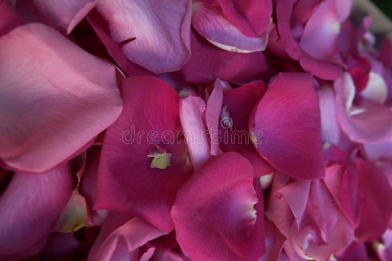 Pétalas de Rosa - cor-de-rosa delicada imagens de stock royalty free