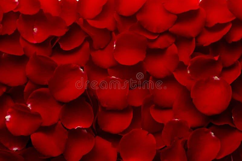 Pétalas de Rosa vermelhas ao máximo imagem de stock