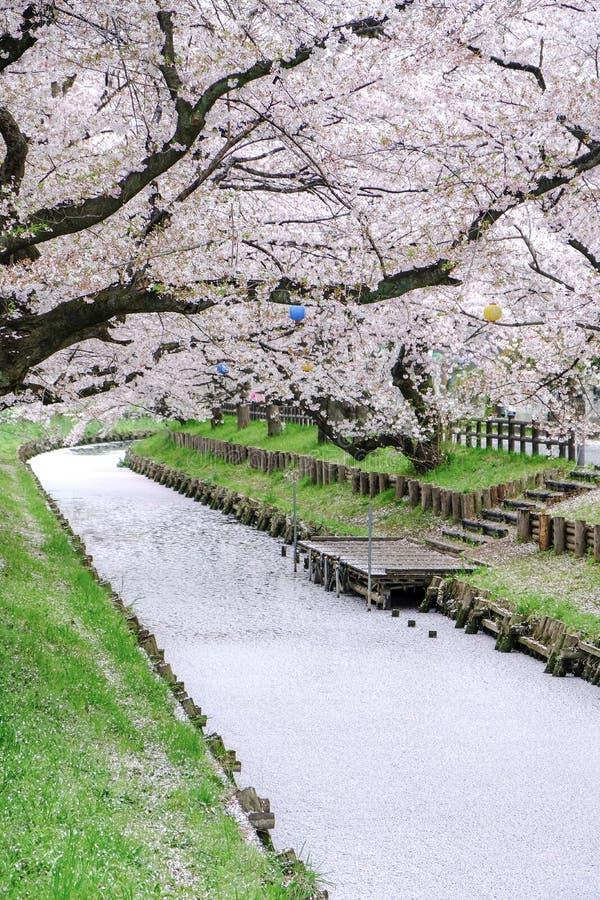 Pétalas de Sakura que cobrem o rio de Shingashi, Kawagoe, Saitama, Japão na mola imagem de stock royalty free