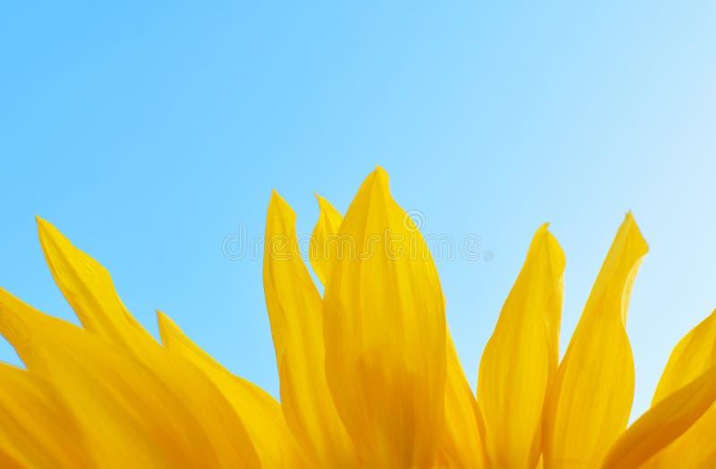 Pétalas do girassol amarelo fotos de stock