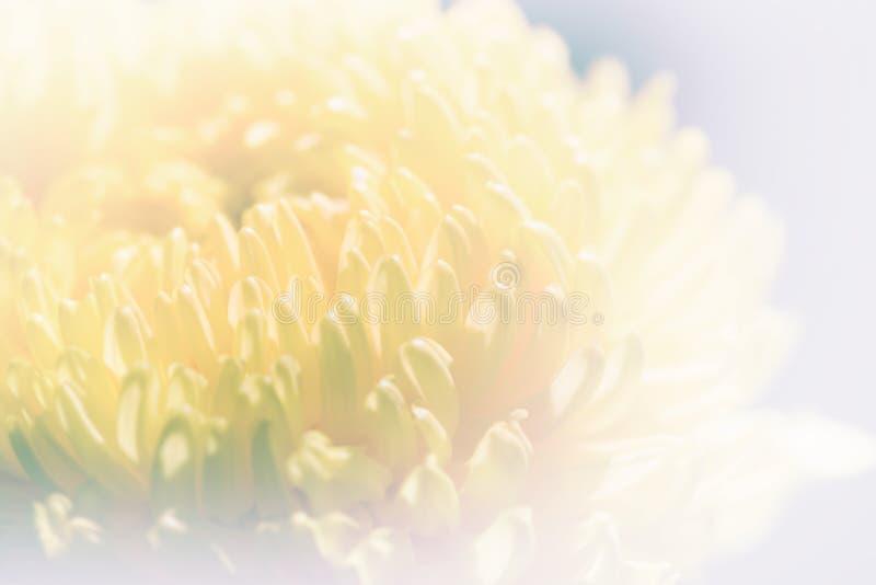 Pétalas doces dos crisântemos da cor pastel na cor e no borrão macios fotografia de stock