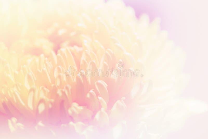 Pétalas doces dos crisântemos da cor pastel na cor e no borrão macios imagens de stock