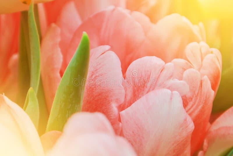 Pétalas e gree vibrantes luxúrias cor-de-rosa bonitos macro da tulipa do close-up foto de stock royalty free