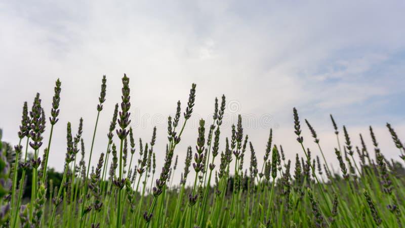 Pétalas roxas bonitas da flor nova da flor da alfazema na fileira em um campo, sob o fundo do céu nebuloso, foco seletivo fotos de stock