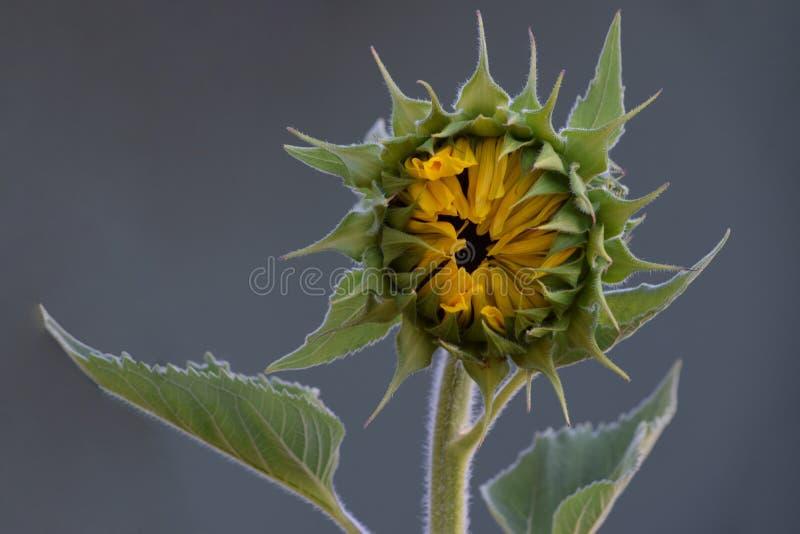 Pétalas verdes do amarelo do girassol fotos de stock royalty free
