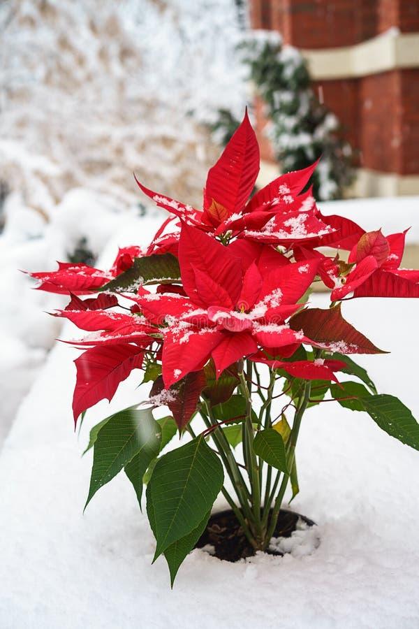 Pétalas vermelhas da poinsétia do Natal com os flocos de neve de queda no fundo branco da neve Conceito do Feliz Natal e do ano n foto de stock