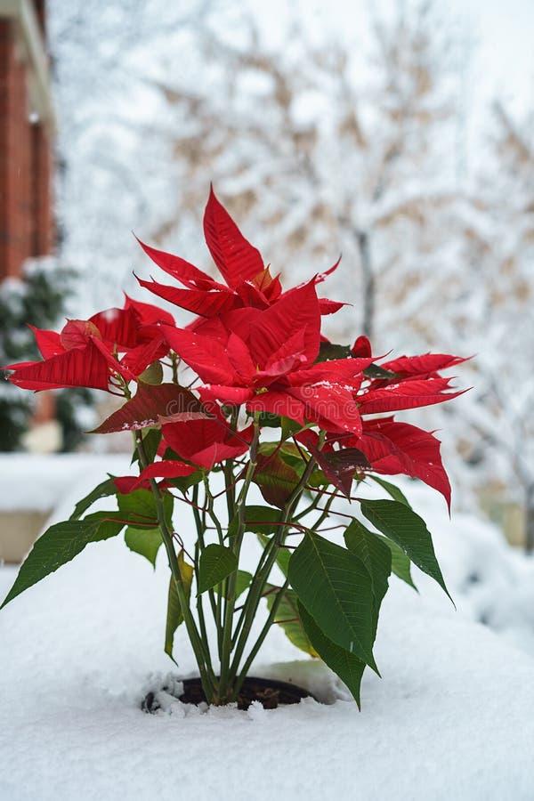 Pétalas vermelhas da poinsétia do Natal com os flocos de neve de queda no fundo coberto de neve branco das árvores Feliz Natal e  fotografia de stock royalty free